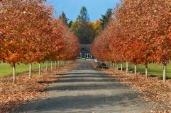 Driveway lined with fall colored foliage. Drive way leading home lined with deciduous trees, in brilliant fall colors with blue skies in the background royalty free stock image