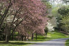 Driveway in the Spring. Pink and White Spring Tree Blooms in the Driveway Royalty Free Stock Image