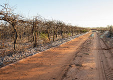 Driveway of Vineyard on Frosty Morning. Stock Photography