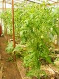 Drivhus av tomaten i byn, vertikalt foto Arkivbild