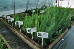 Drivhus för växande dekorativa buskar och klipp för plantor Royaltyfria Foton