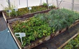 Drivhus för växande dekorativa buskar och klipp för plantor Arkivbild