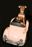 Driving in convertible. Miniature pincher driving in convertible Stock Images