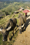 Driving the cows home. Water buffalos being taken home in the evening.  This is Sapa Valley, a prime hiking venue in Vietnam.  There are many ethnic minorities Stock Photos