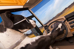 Driving Dog royalty free stock image