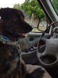 Driving dog Stock Image