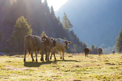 Driving down of cows from the mountain pastures Royalty Free Stock Photography