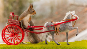 Driving a horse carriage. Close up of red squirrel driving a horse carriage Stock Photography
