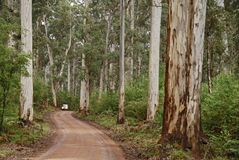 Driving Beside Karri Trees Royalty Free Stock Photo