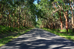 Driving through red gums in Mungo Brush National Park. Enchanting drive through dappled light through a forest of red gums and lush green ferns in Mungo Brush Stock Photo