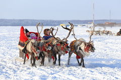 Driving on reindeers Royalty Free Stock Image