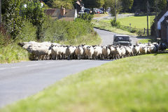 Driving Sheep Along Country Road Stock Photo