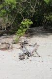 Drivved på en Florida strand Arkivbild