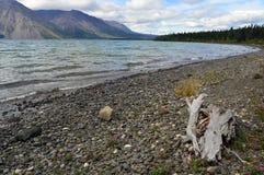 Drivved på Kathleen Lake Shoreline i det Yukon territoriet, Kanada Arkivbild