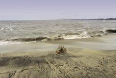 Drivved strandade på en sandig strand, en krabb sjö med vågCR Royaltyfri Bild