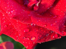 Drizzle on The Red Rose. Petals Royalty Free Stock Images