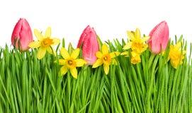 春天在绿草的郁金香和水仙花与水dro 免版税库存照片