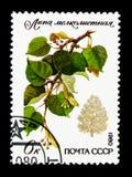 Drobnolistny wapno, Ochraniający se, drzew i krzaków (Tilia cordata) obraz royalty free