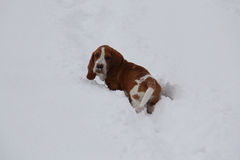 Droevig Basset Hound-Puppy Stock Foto