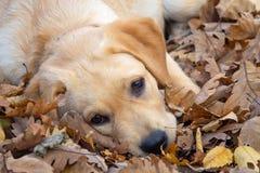 Droevig hondpuppy Labrador royalty-vrije stock fotografie
