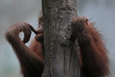 Droevig orang-oetan utan verliezend huis royalty-vrije stock foto's