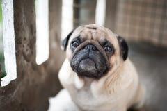 Droevig pug close-up stock afbeelding