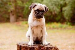 Droevig pug puppy Stock Afbeelding