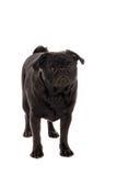 Droevig pug puppy Royalty-vrije Stock Afbeeldingen