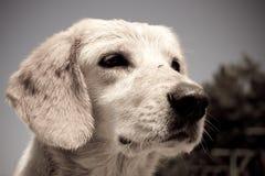 Droevig puppy Stock Foto
