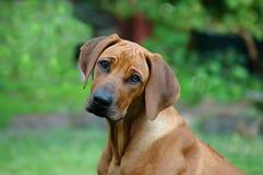 Droevig puppy Stock Afbeeldingen