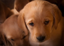 Droevig Puppy Stock Fotografie