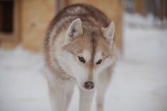 Droevig roodharige Huskies Stock Fotografie