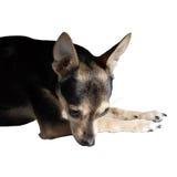 Droevig Russisch stuk speelgoed Terrier Royalty-vrije Stock Fotografie