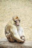Droevige aap Stock Foto