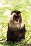 Droevige aap Stock Afbeelding
