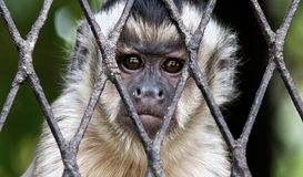 Droevige aap in kooi stock fotografie