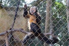 Droevige aap met verloren ogen met een banaan in zijn handen stock fotografie