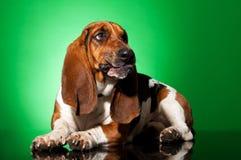 Droevige basset hond Royalty-vrije Stock Afbeelding
