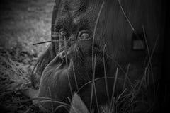 Droevige bored orang-oetan die in gevangenschap leven stock fotografie