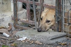 Droevige bruine Thaise hond die ongelukkig van zijn oog tonen Het is in de oude kooi stock foto
