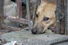Droevige bruine Thaise hond die ongelukkig van zijn oog tonen Het is in de oude kooi stock afbeeldingen