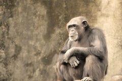 Droevige Chimpansee royalty-vrije stock foto's