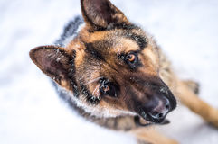 Droevige de vorst van de Duitse herderhond ziet eruit Royalty-vrije Stock Afbeelding