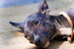 Droevige dromerige hond Royalty-vrije Stock Fotografie