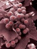 Droevige druif Stock Foto