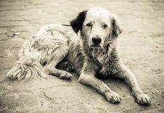 Droevige en dakloze hond Stock Foto