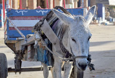 Droevige ezel stock foto's