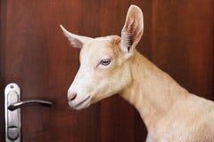 Droevige geit binnen de ruimte bij de deur concept het drijven van een geit uit het huis stock fotografie
