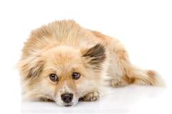 Droevige gemengde rassenhond die vooraan liggen Op witte achtergrond Royalty-vrije Stock Afbeelding