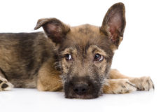 Droevige gemengde rassenhond Geïsoleerdj op witte achtergrond Stock Fotografie